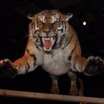 बाघको आक्रमणबाट दुईको मृत्यु